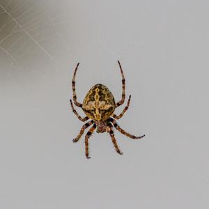 Spiders ~ Edderkopper