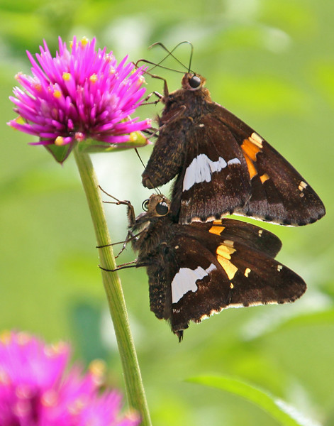 Silver-spotted Skippers