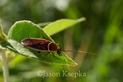 Blattidae (Cockroaches)