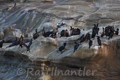 Brandt's Cormorants with Heerman's Gulls