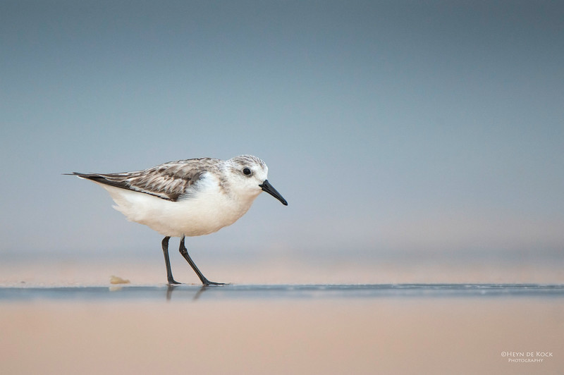 Sanderling, Lake Woolumbulla, NSW, Aus, Jan 2013-1.jpg