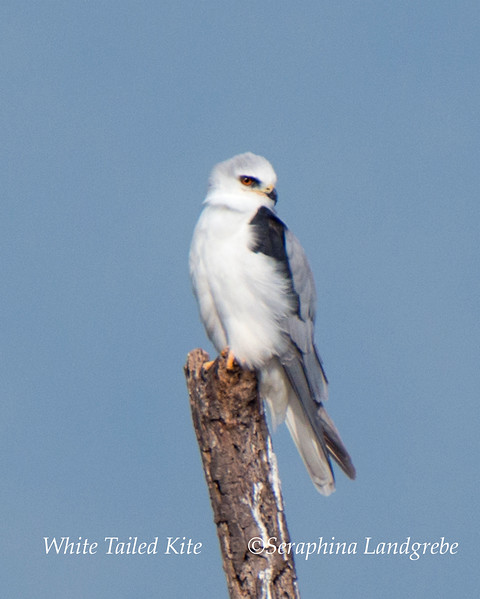 _DSC1929White tailed Kite.jpg