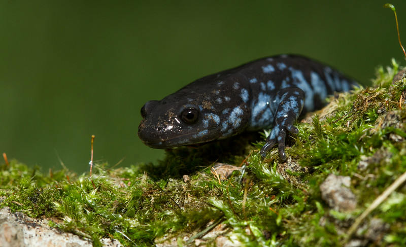 Blue Spotted Salamander (1 of 1).jpg