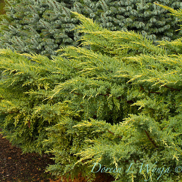 Juniperus chinensis 'Daub's Frosted' - Picea sitchensis 'Papoose'_6418crop.jpg