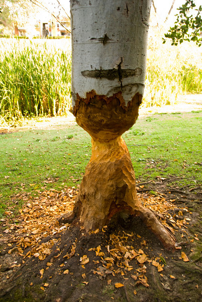 2008.07.22 - Beaver.Tree