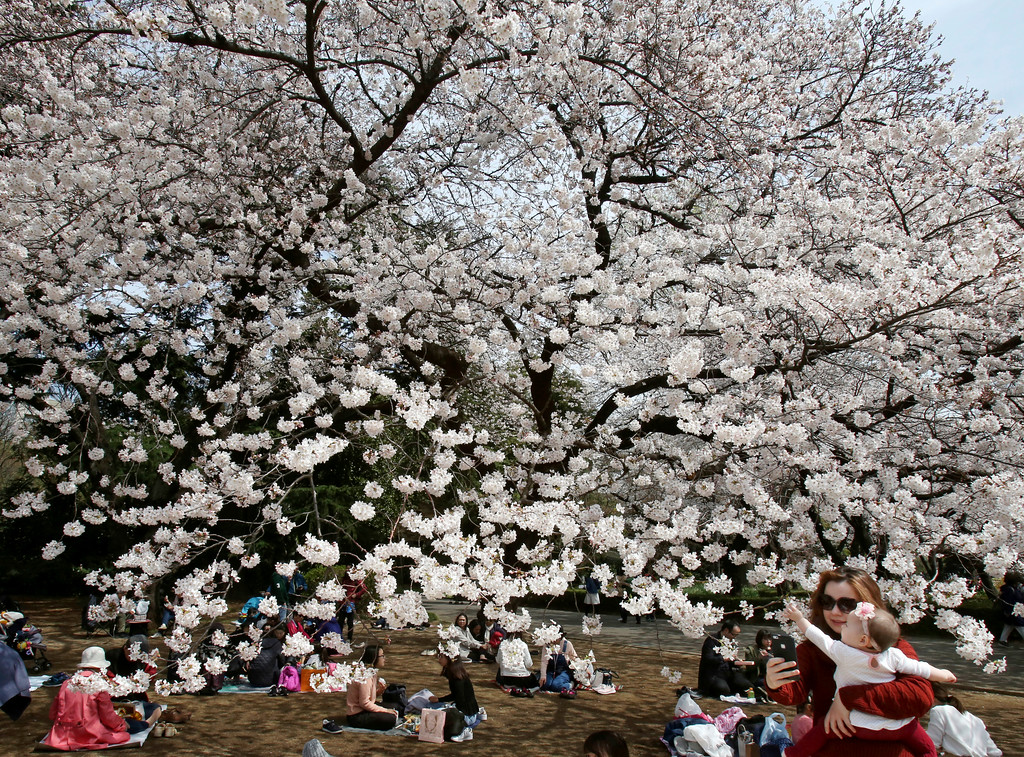 """. Visitors enjoy the cherry-blossom viewing at Shinjuku Gyoen national garden in Tokyo, Monday, March 26, 2018. At the garden, people laid down picnic sheets to enjoy \""""hanami,\"""" which is a Japanese custom of flower viewing. (AP Photo/Koji Sasahara)"""
