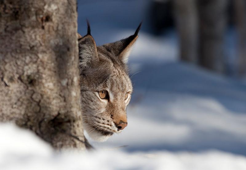 Lynx 6.jpg