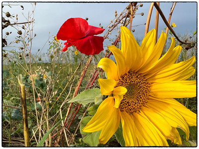 Sunflowers And.... October 2021