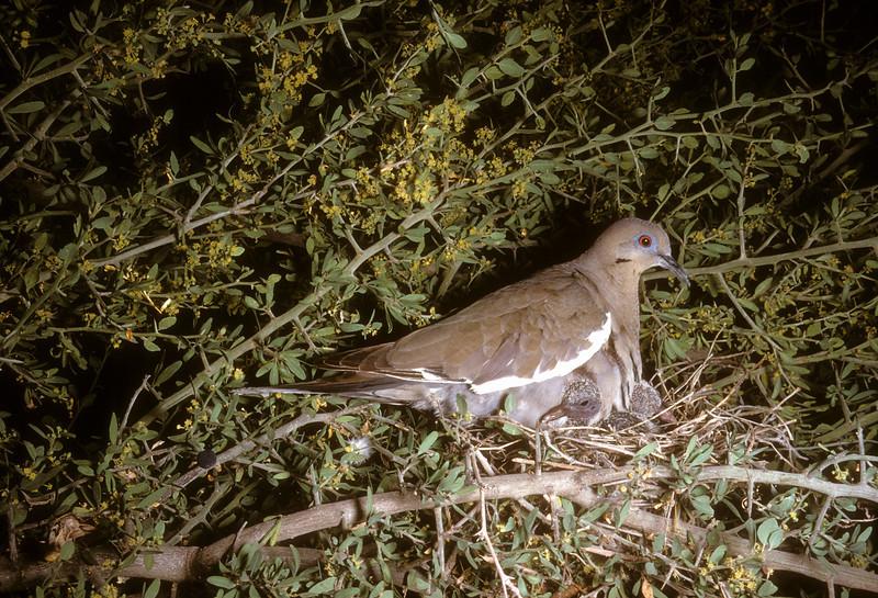 White-Winged Dove (Zenaida asiatica), Santa Elena Canyon, Big Bend National Park, Texas, 1958