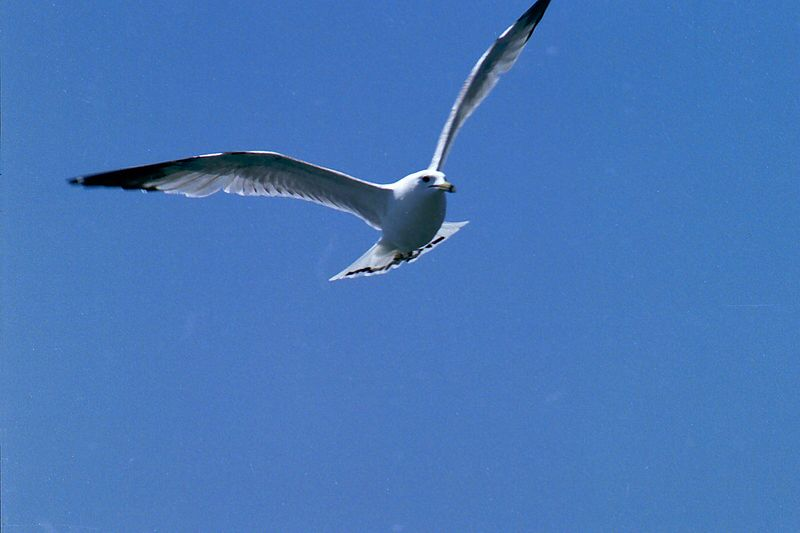 Ring-Billed Gull In Flight, Humber Bay Park
