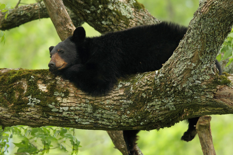 Lazy Bear Resting In Tree along Hyatt Lane