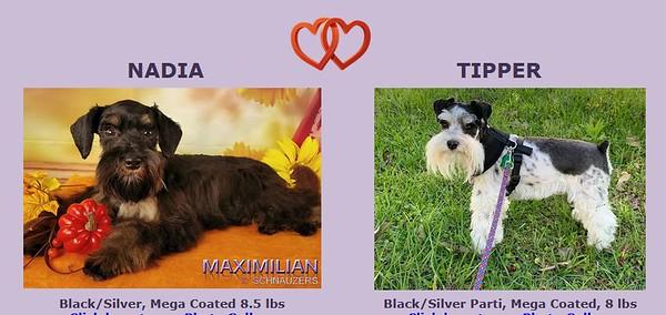 Nadia & Tipper Puppies, DOB 3/15/2021