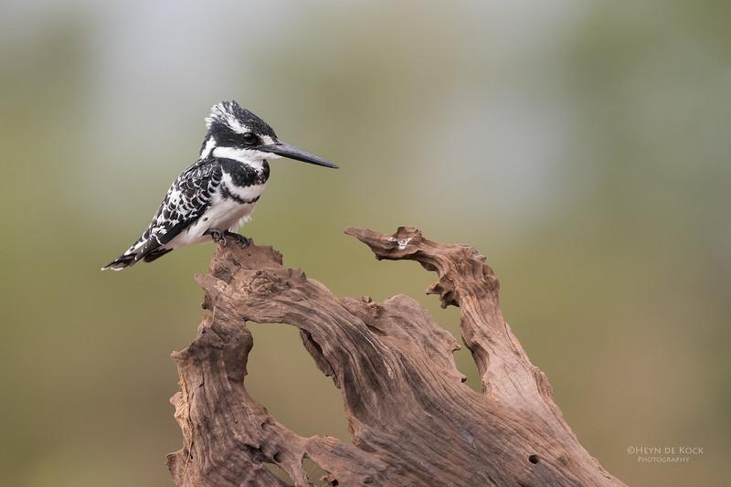 Pied Kingfisher, Zimanga, South Africa, May 2017-4.jpg