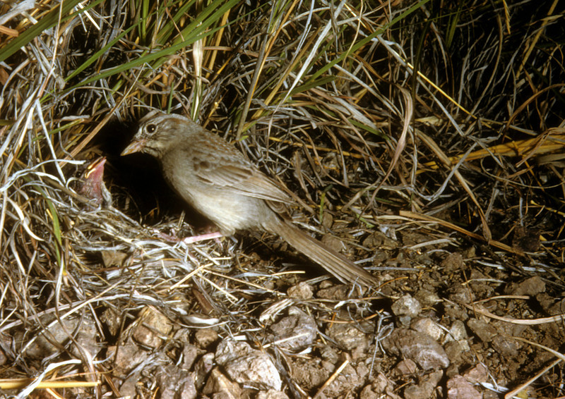Rufous-crowned Sparrow (Aimophila ruficeps), Big Bend National Park, Texas, 1958