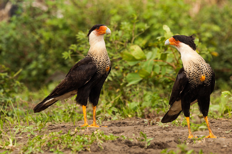CRESTED CARACARA - DUO - EDITED.jpg
