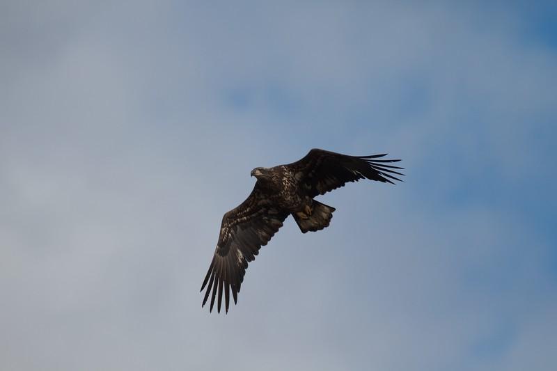 Bald Eagle Wisconsin Pt Superior WI IMG_0031207.jpg
