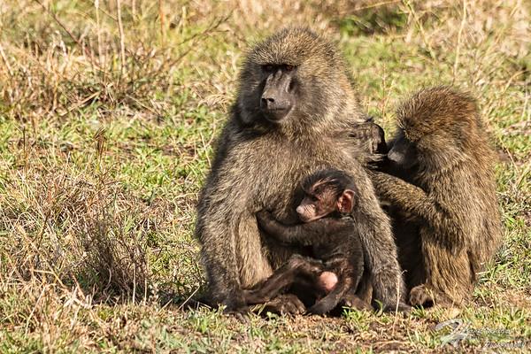 Baboon/Monkey