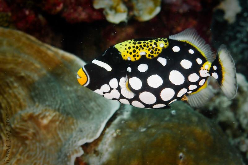 fish clown trigger_DSC2937.jpg