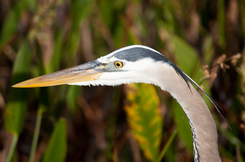 great blue heron eye