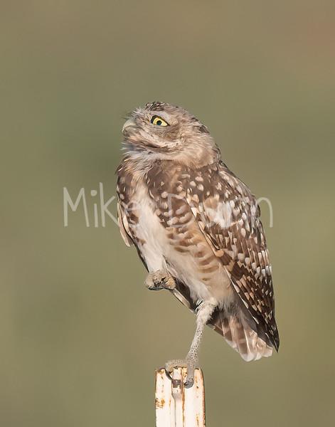 Burrowing Owl 21-70
