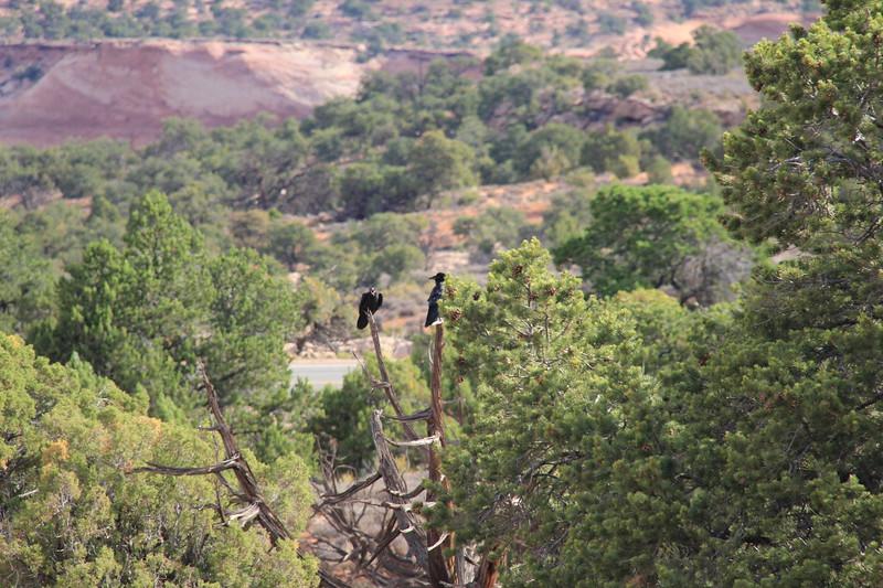 20180715-019 - Canyonlands NP - Ravens at Mesa Arch Trailhead.JPG
