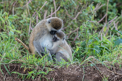 Monkeys, Rhinos, Cape Buffalo