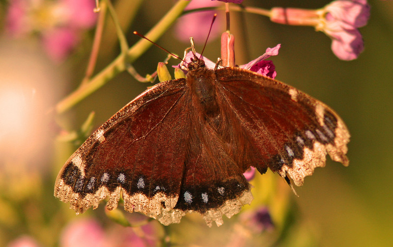 WB~Butterfly Mourning Cloak1280.jpg
