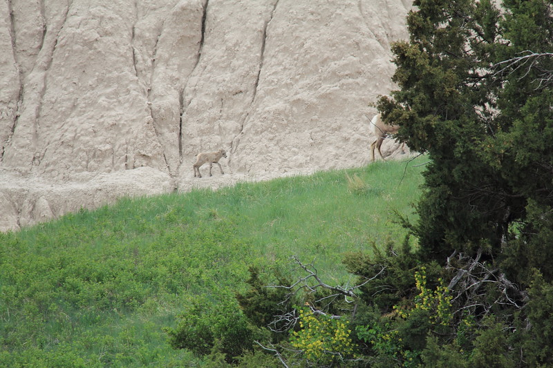 20140523-162-BadlandsNP-MountainGoats.JPG