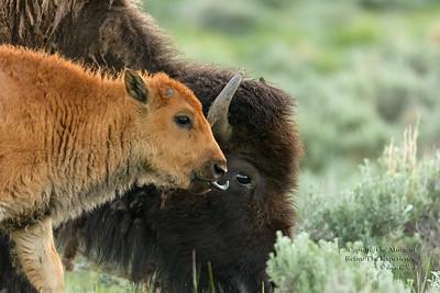 Yellowstone 2010, 14, 16, 19