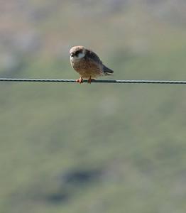 Punajalkahaukka (Falco vespertinus)
