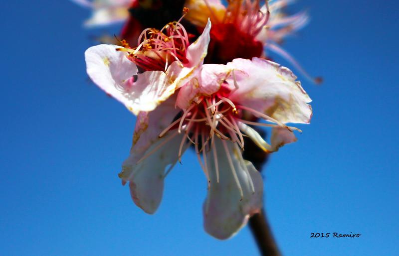 Blooming Tree 3-22-15 708.jpg