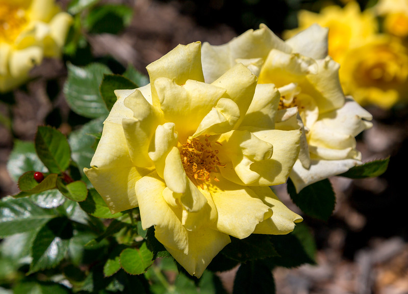 And here is the famed Yellow Rose of Texas!