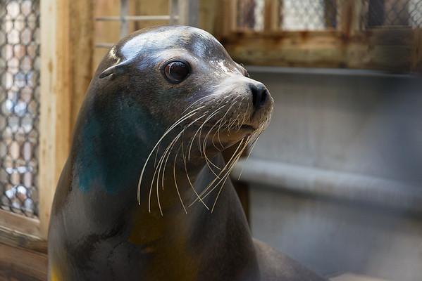 Sea Lion, Jonah, Arrives at Houston Zoo - 5/2013