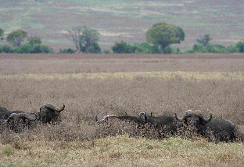 buffalo. ngorongoro crater