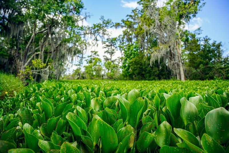 Swamp Lily Leaves.jpg