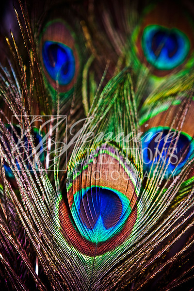 peacock-feathers.jpg