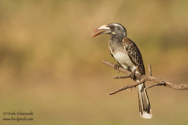 African Grey Hornbill -  Female - Lake Manyara National Park, Tanzania