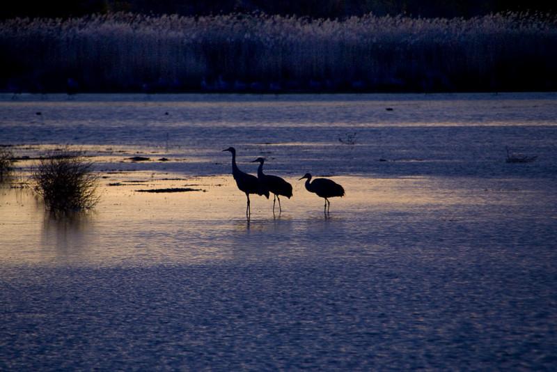 Sandhill Cranes waiting to take off