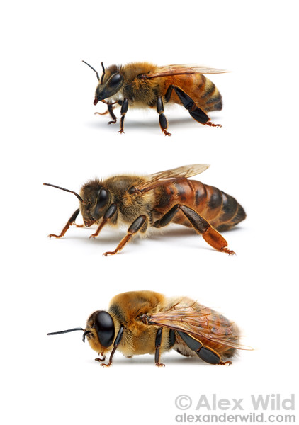 Castes of the western honey bee, Apis mellifera