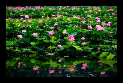 Lotus (Beijing 2009)