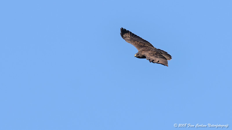 Musvåge (Buteo buteo - Common Buzzard)