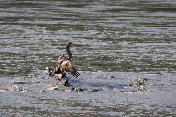 Oiseau d'eau : Grand Cormoran