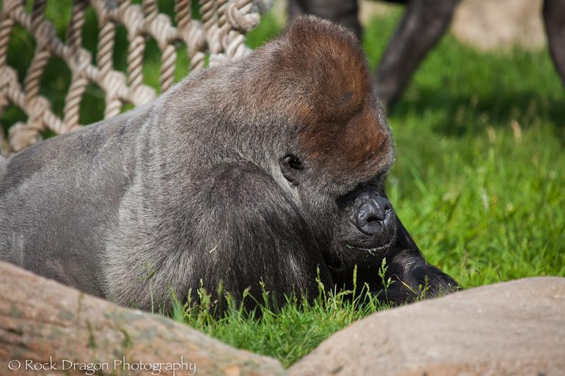 Western Lowland Gorilla, Calgary Zoo