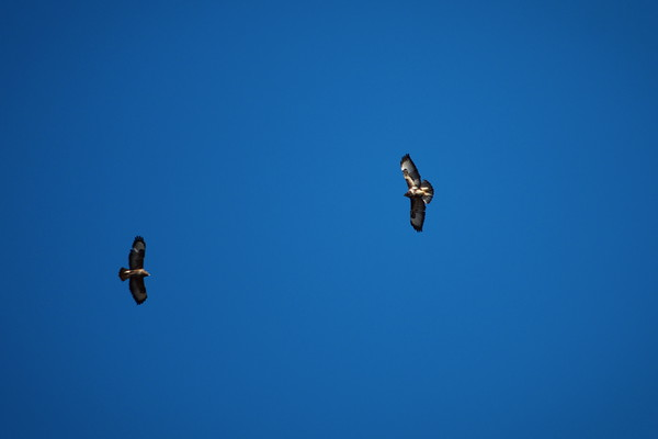 Rapace : Buse variable