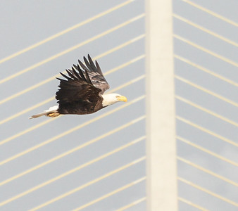 Eagles on the James
