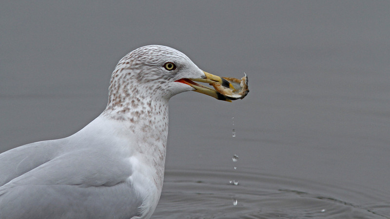 Ring-Billed Gull with clam catch, Contempo Lagoon