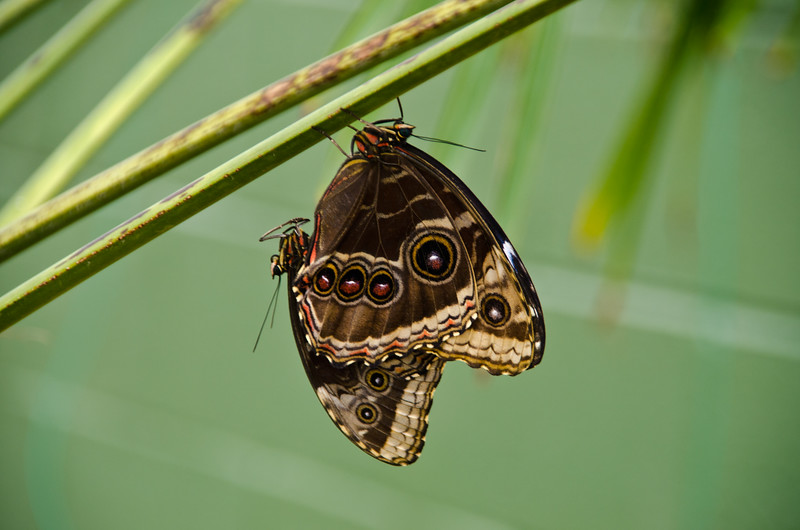 Common Blue Morphos