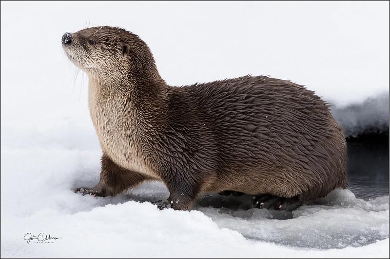 J85_2728 Otter crop 2 LPW.jpg