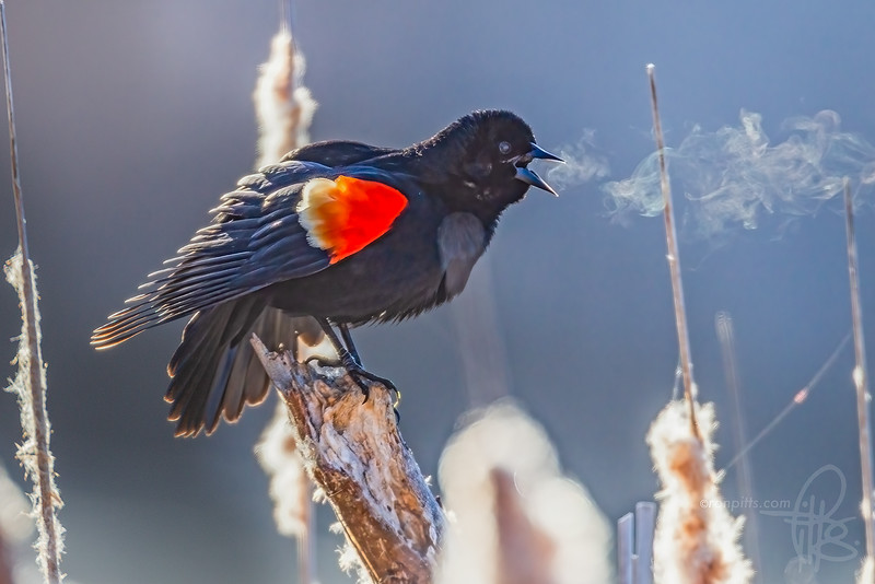 sm 4 blackbird_M4D9160.jpg