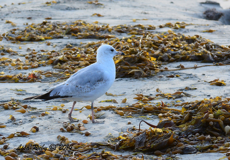 Immature Ring-billed or California Gull - 3/2/14 - Birding 100 San Diego Bird Festival